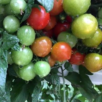 Cherry tomato hanging baskets