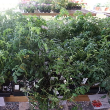 Varieties of tomato plants and herb plants at Brossman's
