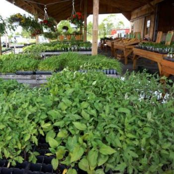 vegetable plants and flowers for your garden