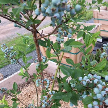 Blueberry & Blackberry bushes
