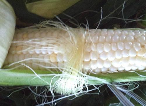 Brossman's sweet corn