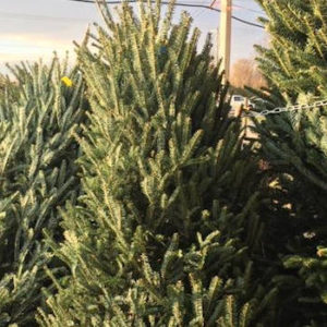 Fresh cut Christmas trees Leesburg