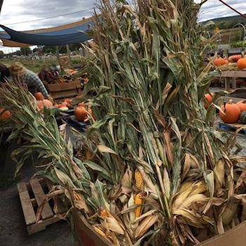 Corn shocks
