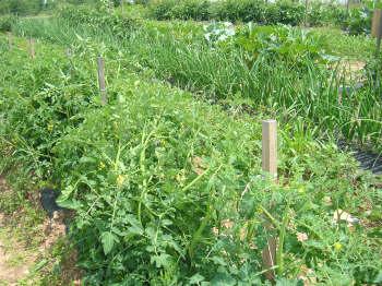 Garden Plot Tomato Plants