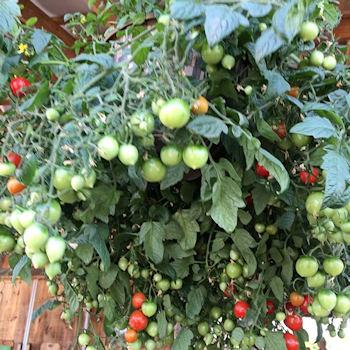 Hanging cherry tomato plant